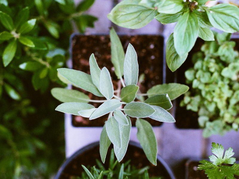 deze eeuwige planten kun je vaker oogsten - telen - groenten