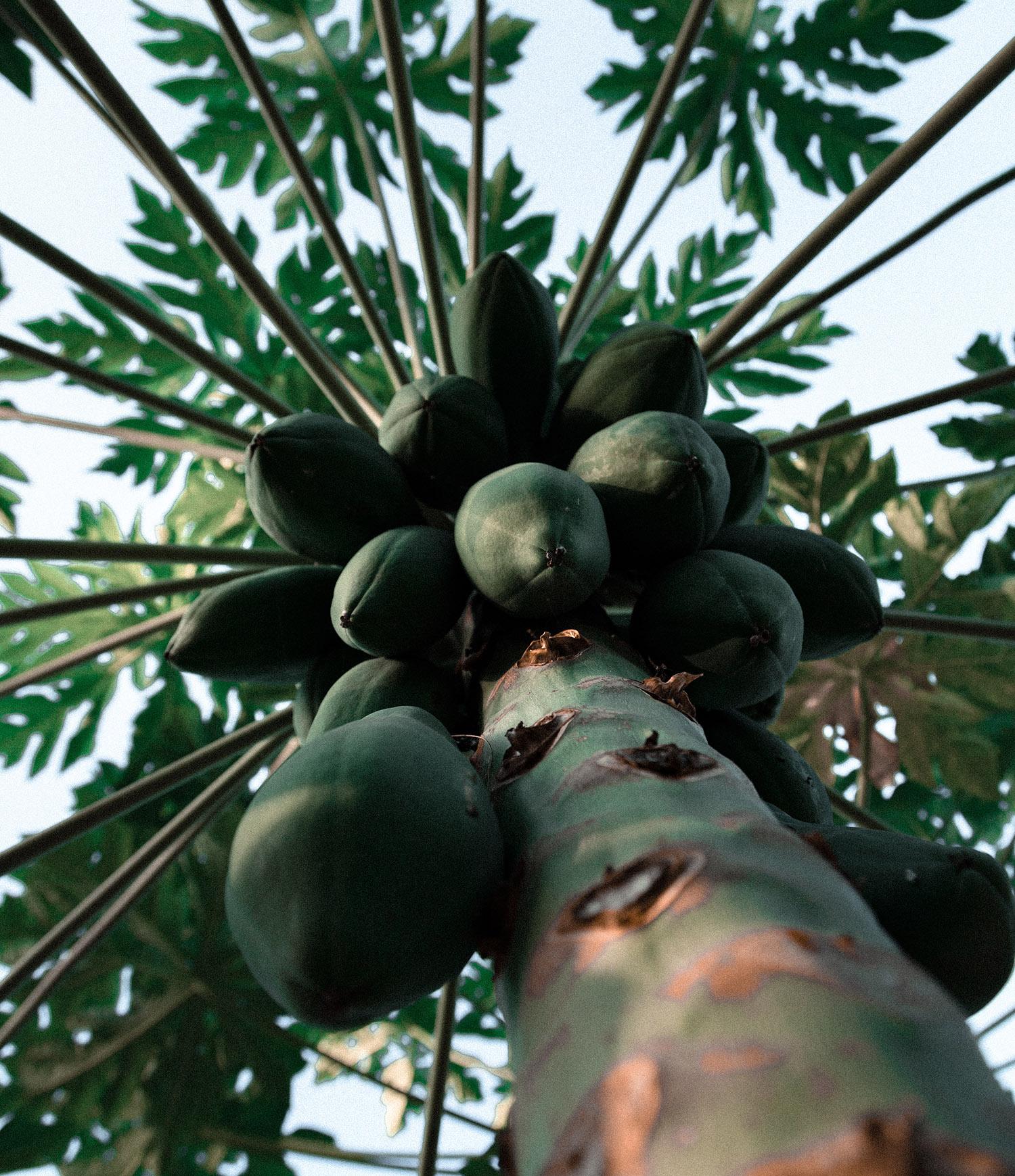 zo groeit papaja